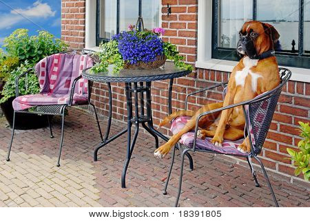 funny aristocratic looking dog on a terrace chair