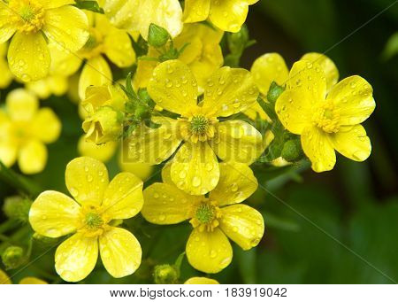 Ranunculus cortusifolius also known as the Azores buttercup or Canary buttercup is a plant species in the genus Ranunculus. Water drops on petals from rain.