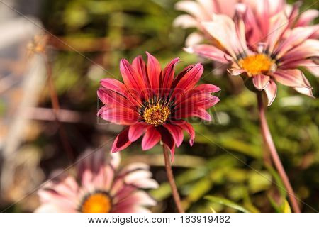 Pink African daisy Osteospermum Ecklonis blooms in a botanical garden in summer on a background of green leaves