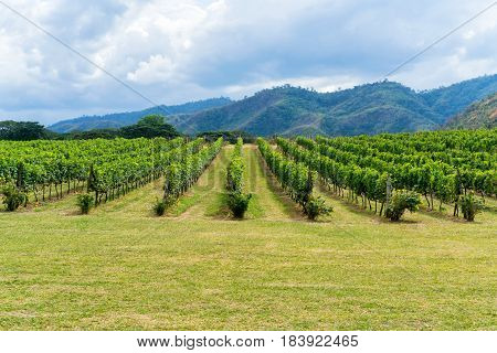 Vineyard And Mountain Background Landscape On Hill