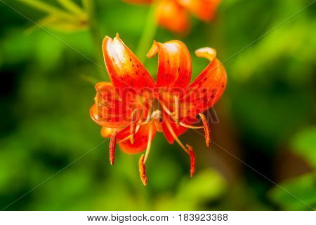 Lilium martagon close up on green background