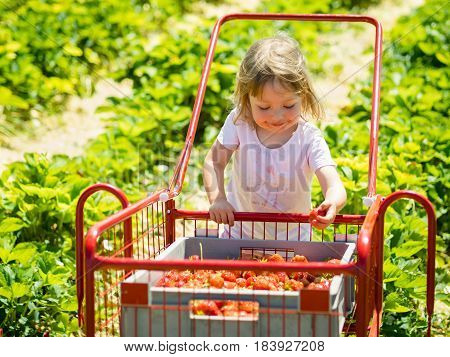 Cute little girl pushing trolley with strawberries as she hand-picks one