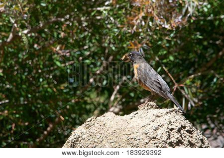 American Robin perched on a rock with multiple crickets in it's beak. The American robin (Turdus migratorius) is a migratory songbird of the thrush family.