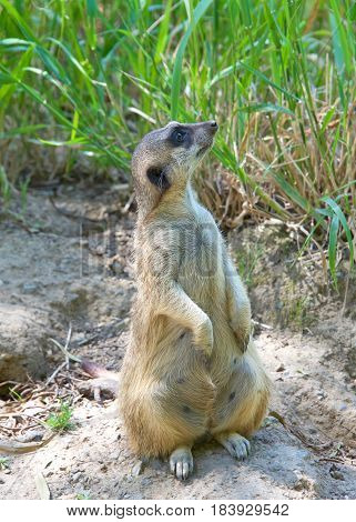 Meerkat or suricate (Suricata suricatta) sitting up on hind legs looking to viewers right in search of predators. A small carnivore belonging to the mongoose family