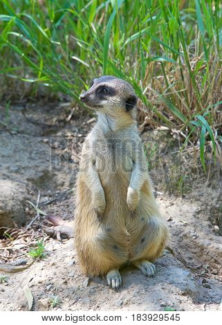 Meerkat or suricate (Suricata suricatta) sitting up on hind legs looking to viewers left in search of predators. A small carnivore belonging to the mongoose family