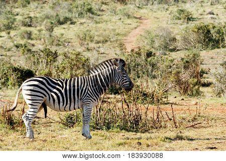 Burchells Zebra Standing And Staring