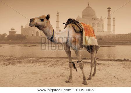 camel in front of worldwonder taj mahal in sepia color
