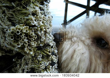 Pet poodle dogs enjoy a walk on a South Australian beach sniffs periwinkle barnacles on jetty