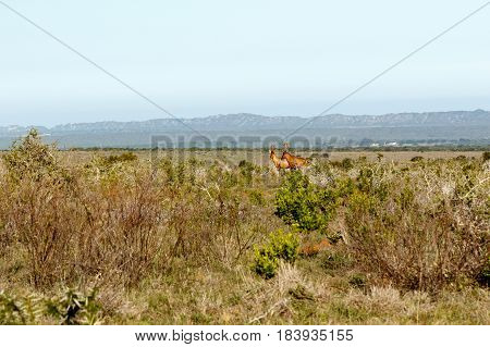 Addo Landscape With Two Red Heart Beast Standing
