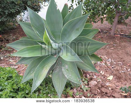 Agave Succulent Plant
