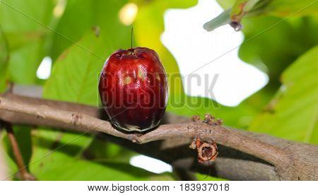 Closeup of Syzygium malaccense or Pomerac Malay Apple on tree