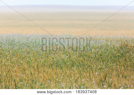 Field Of Wheat Ears And Blue Flowers