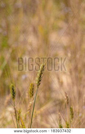 A Several wheat ears on the field