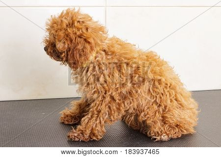 The toy poodle waits for a shearing