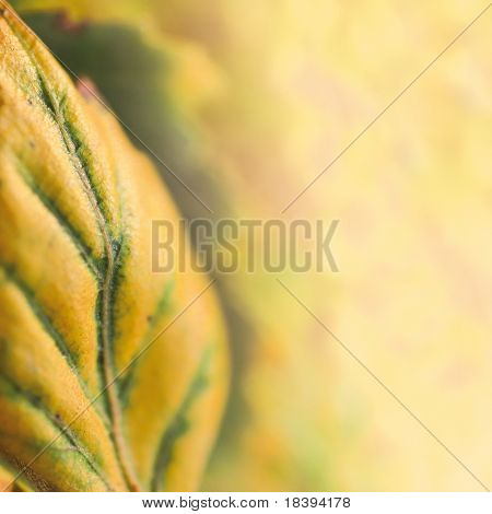 Autumn background with shallow dof yellow birch leaf