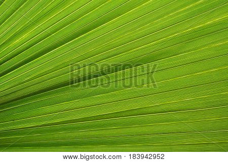 Palm leaf texture a green natural background.