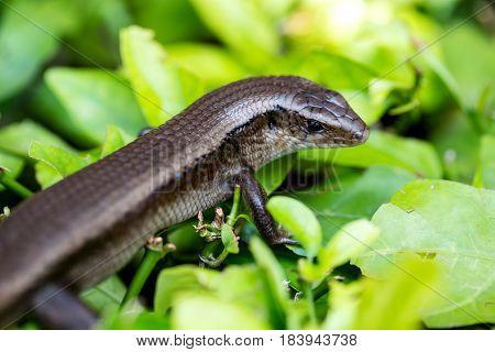 Monitor Lizard - Varanus on tree in garden.
