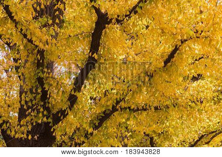 Yellow GinKo tree close up during autumn season Japan