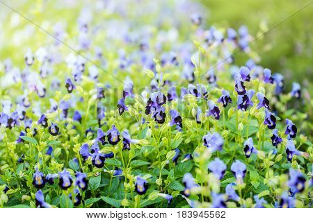Wishbone Flower, Bluewings, Torenia. Beautiful Flower In Garden.