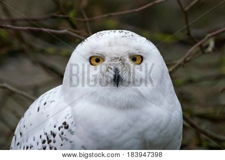 Closeup portrait of the white snowy owl with yellow eyes