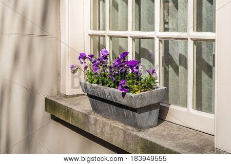 Purple flowering violas growing in a stone plant box on a window sill and in front of an old window with glass bars.