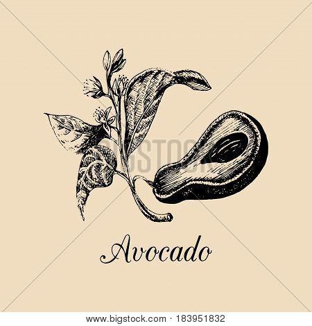 Vector avocado illustration. Hand drawn Alligator pear branch sketch. Persea americana plant background. Medicinal, cosmetic herb logo.