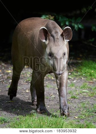 South American tapir walking in grass in its habitat