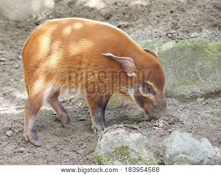 Red river hog looking for food in mud in its habitat