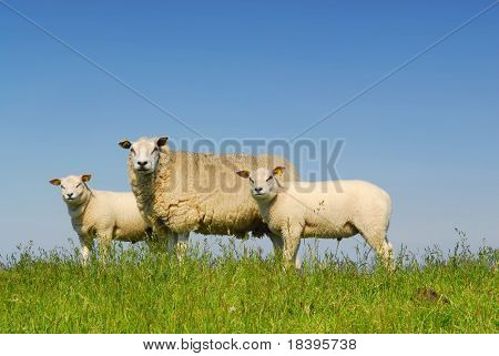 Mother sheep with two lambs on green grass with blue sky background on dutch island Texel