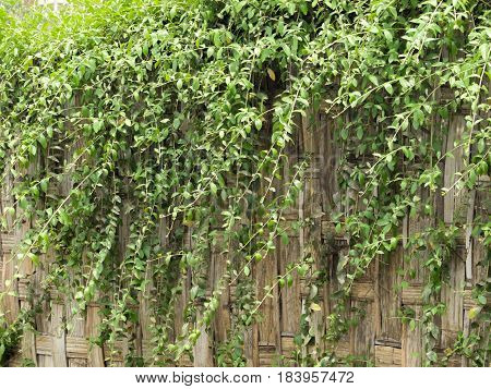 COLOR PHOTO OF GREEN CREEPER PLANTS OR IVY LEAVES
