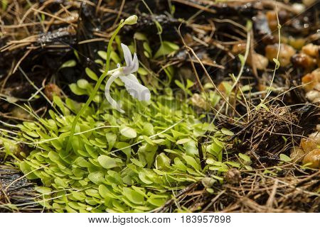 Plants and flowers of Utricularia sandersonii small perennial carnivorous plant endemic to South Africa