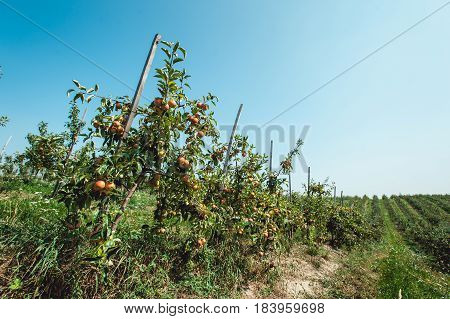 Summer harvest of apples. Young apple orchard, rows of trees.