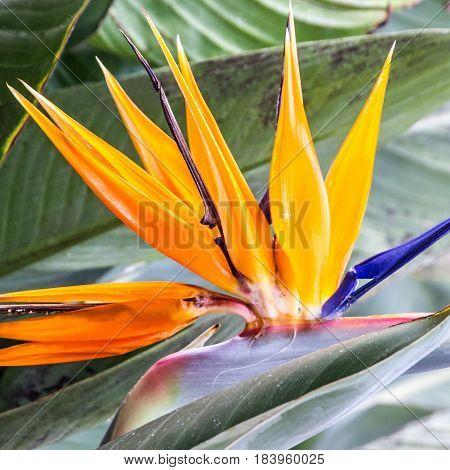 Tropical flower strelitzia bird of paradise Madeira island, Funchal, Portugal