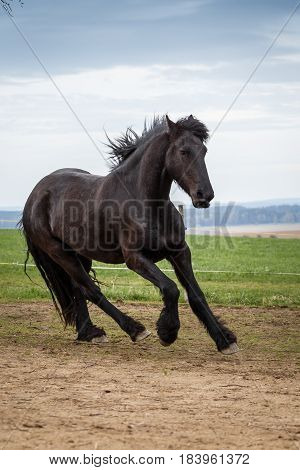 Photo of friesian horse running on pasture. Home pet.