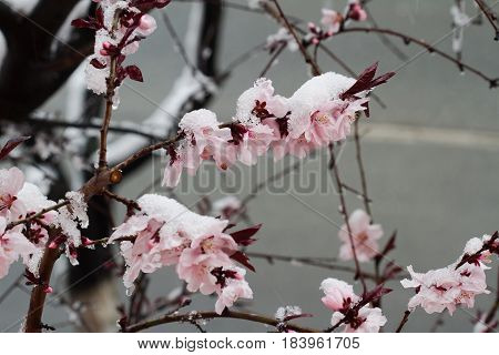 horizontal closeup of pink in bloom tree flowers covered in spring snow with branches in the background selective focus
