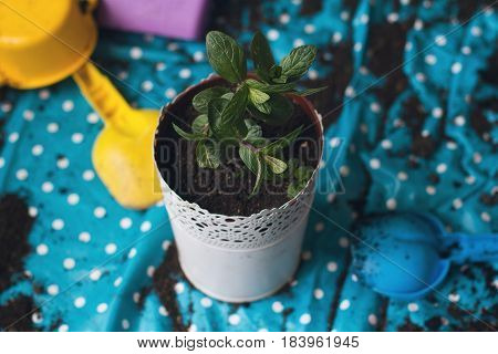 top view of mint plant being planted in a white vase natural lighting
