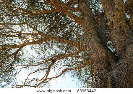 Under Aleppo pine tree, looking up towards sun