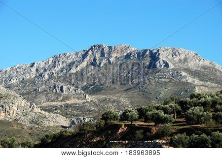 Olive grove with mountains to the rear El Burgo Malaga Province Andalusia Spain Western Europe.