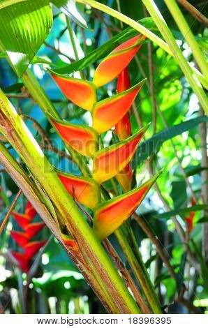 Tropical heliconia flower in botanical garden in Queensland Australia