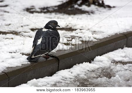 grey pigeon sitting on the curb one bird snow