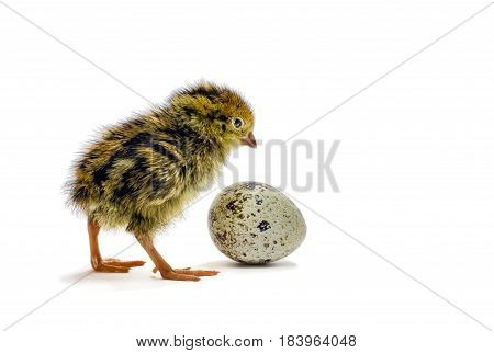 Baby of quail after hatching. Domesticated quails are important agriculture poultry