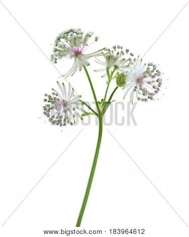 Close-up on flowers of Astrantia major,  isolated on white background. lateral view