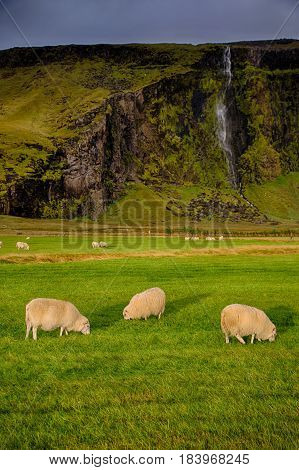 Grazing sheeps on the green grass of Iceland