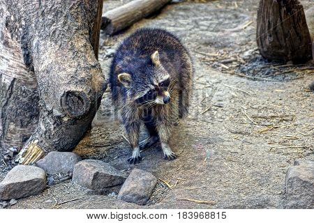 Frightened raccoon on the ground near a tree
