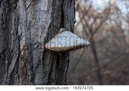 Mushroom parasite on a tree close up