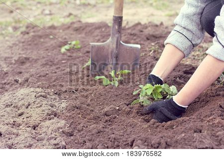 Grower young strawberry plants are planted in the garden / spring chores in the garden