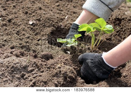 young green strawberry seedlings carefully planted in freshly dug earth / spring work in the garden