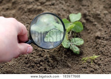 Magnifying glass in hand of the gardener on the background blurred bush strawberry / careful inspection seedlings
