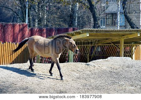 Beautiful brown horse running on the sand in the paddock