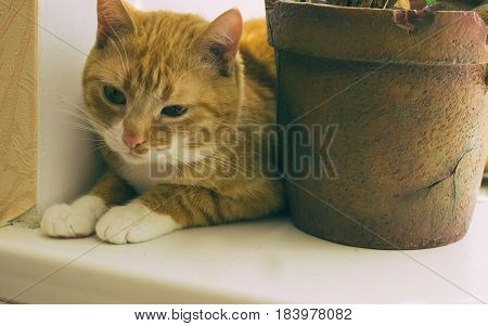 Beautiful friendly domestic red cat, pet at home